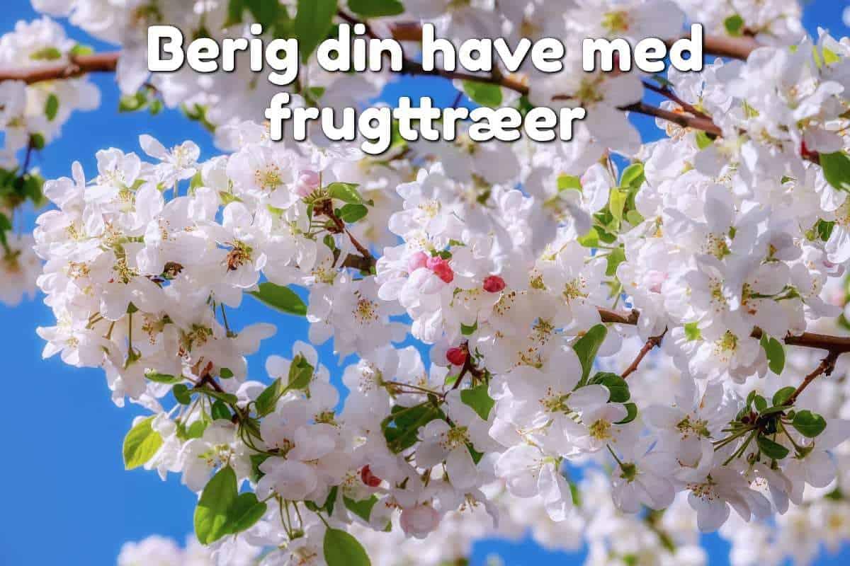 blomstrende æbletræskvist